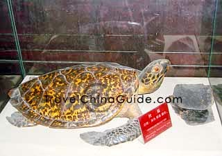 Hawksbill turtle's shell can be used in medicine.