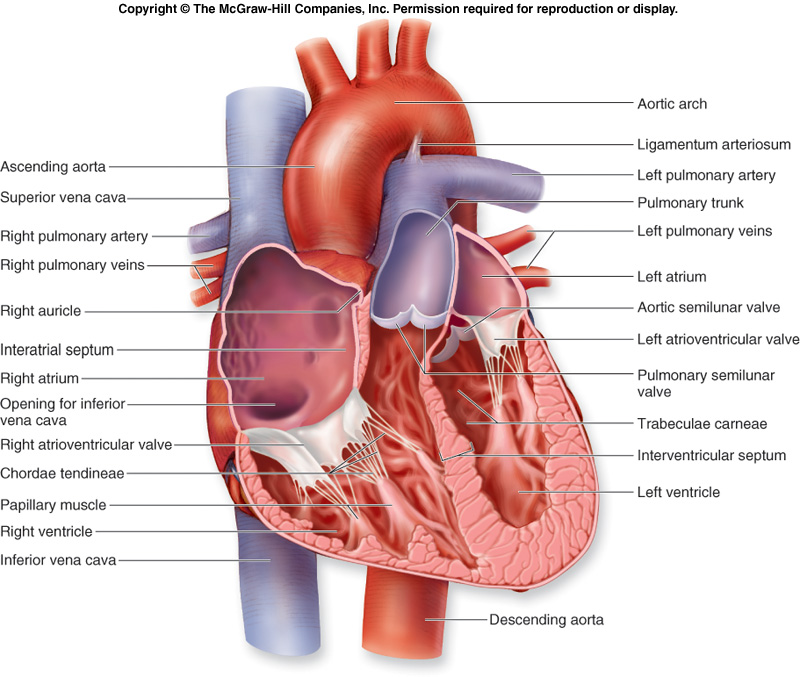 Human Biology And Health Circulation