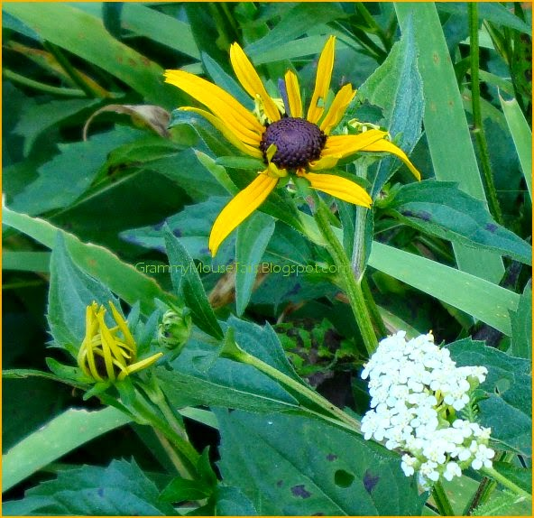 black-eyed susans bud + starting to bloom photo
