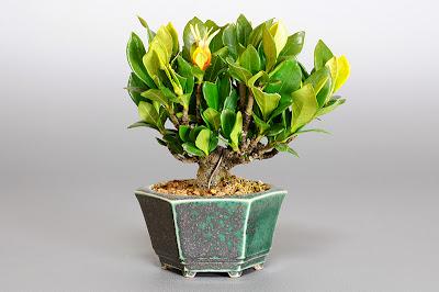 クチナシP(梔子盆栽)Gardenia jasminoides bonsai