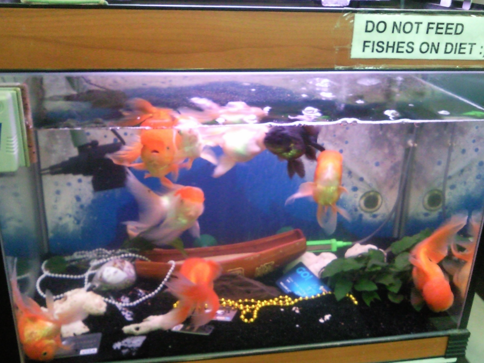how to breed goldfish in fish tank
