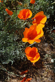 The star of California springtime: the California poppy