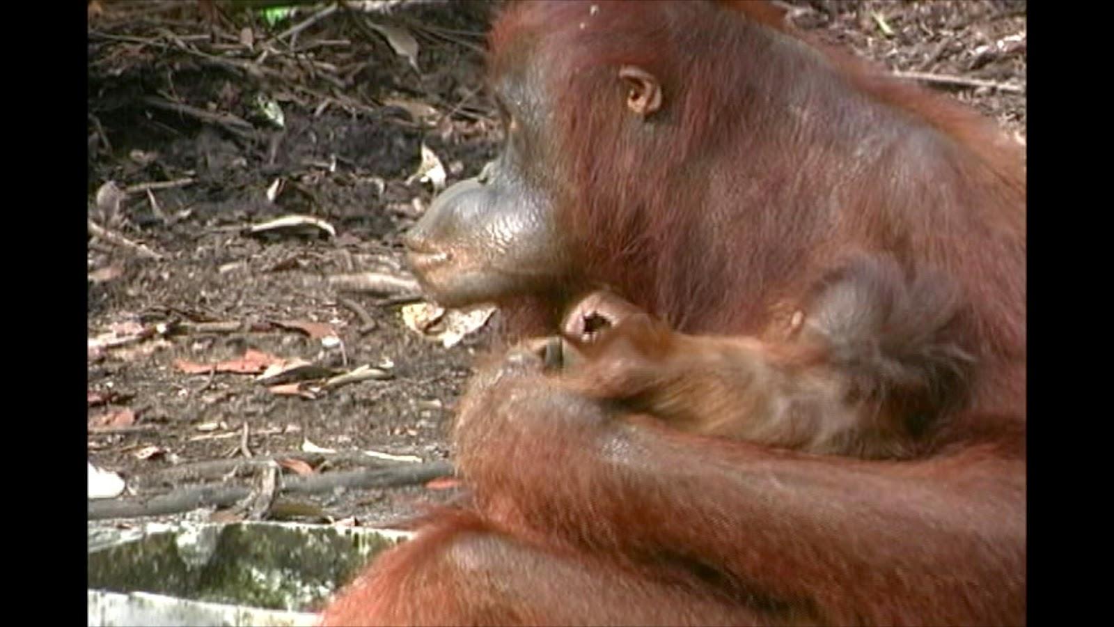 Rachmannisablog Flora Dan Fauna Yang Ada Di Indonesia