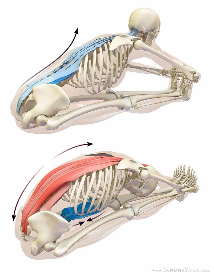 Conciencia Yoga: Anatomía del Yoga: columna vertebral