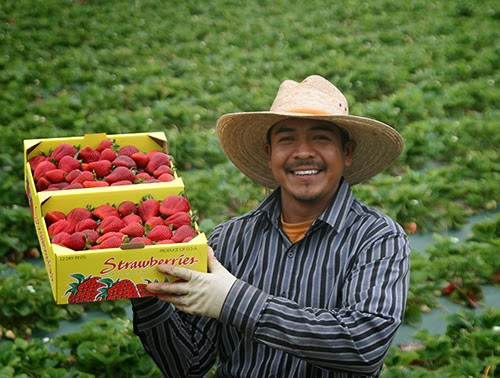 Farm Workder Displaying Flat of Strawberries