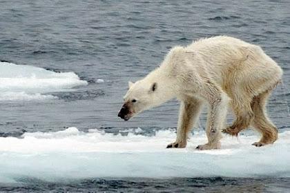 Beruang Kutub paling Menyedihkan di Bumi