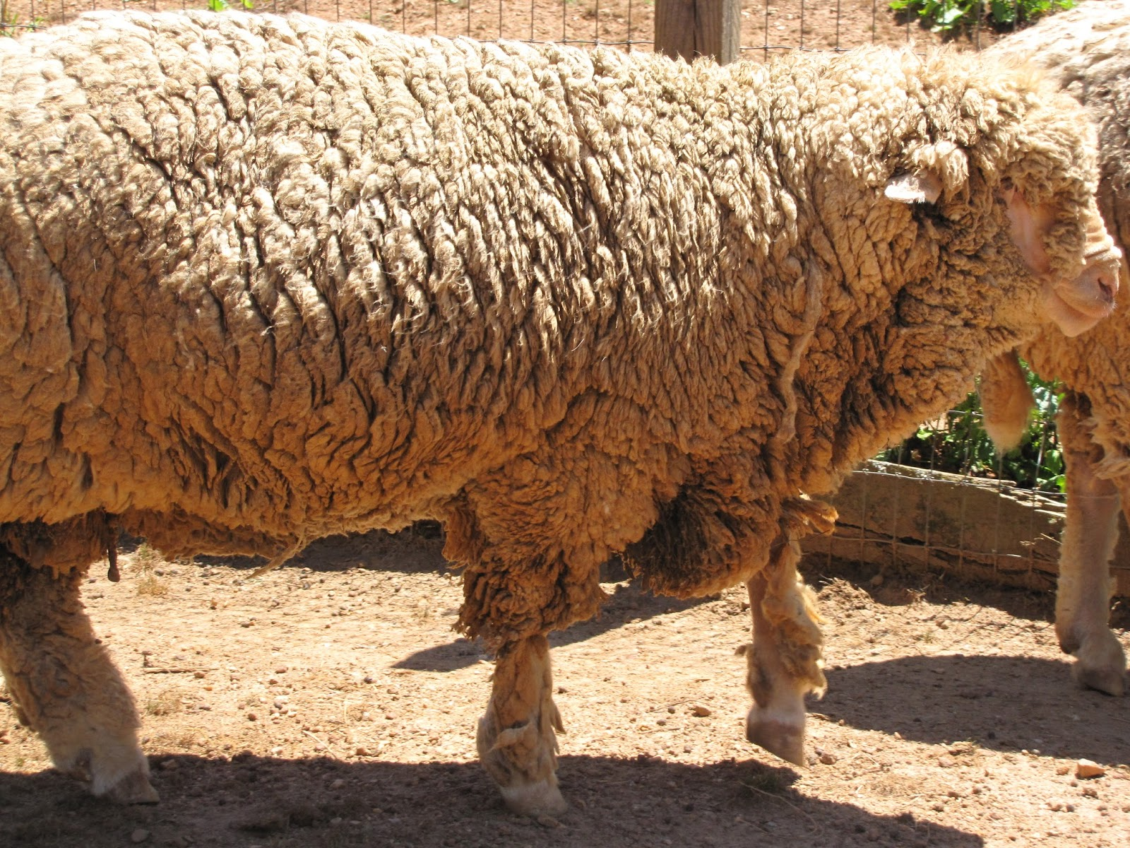 A Cast Sheep Is Very Pathetic Sight Lying On Its Back Feet In The Air It Flays Away Frantically Struggling To Stand Up Without Success
