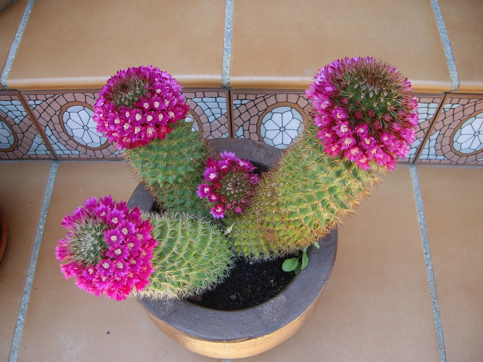 La mar de verde mammillaria spinosissima o mamilaria for Cactus variedades