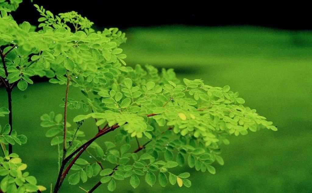 http://ganzheit-natur-gesundheit.blogspot.de/p/moringa-oleifera.html