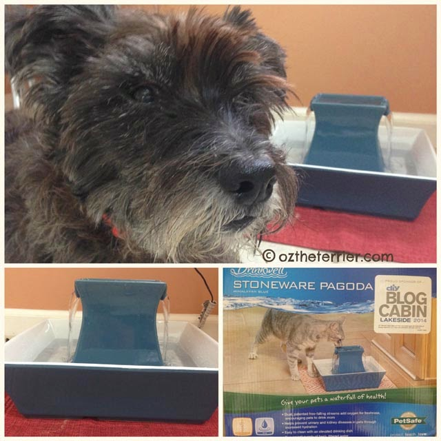 Oz the Terrier with the PetSafe Drinkwell Pagoda Pet Fountain