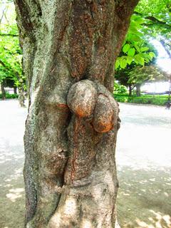 常盤台公園の桜の木の幹の写真