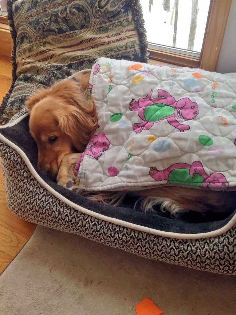 Cute dogs - part 8 (50 pics), golden retriever dog sleeping tuck up himself with barney blanket