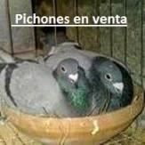 PICHONES EN VENTA