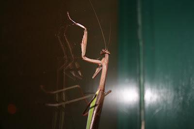 mantis on a window