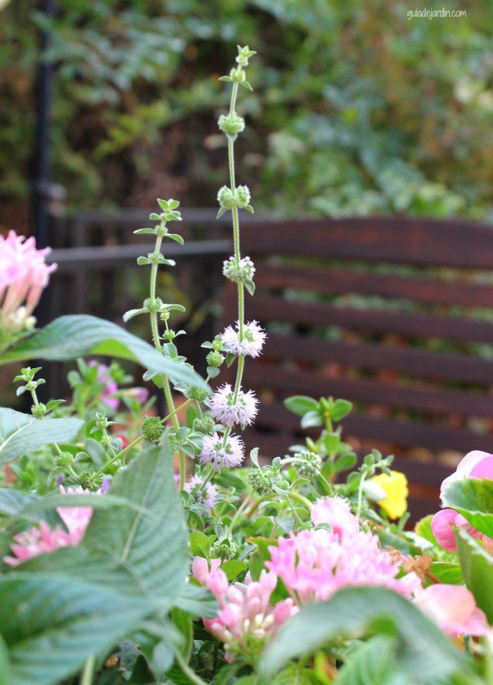 Las sutiles flores del poleo menta