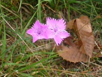 Dianthus seguieri (Garofano dei boschi)
