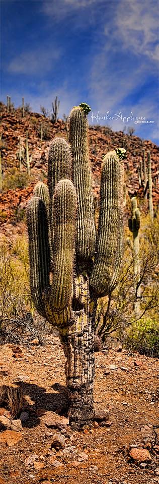 http://heather-applegate.artistwebsites.com/featured/saguaro-heather-applegate.html