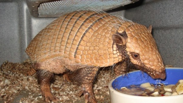 above are two modern examples of armadillos that i work with on the left is the six banded armadillo euphractus sexcinctus whos armor is thicker and