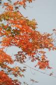Flaming Gum Tree in October