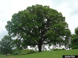 U.P. TREES