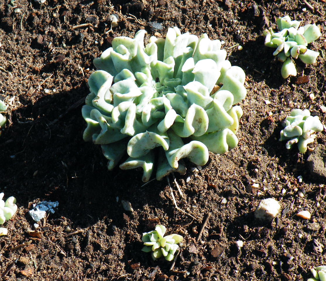 little treasures of life  echeveria runyonii cv  topsy turvy