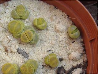 L. hallii 'Green Soapstone'