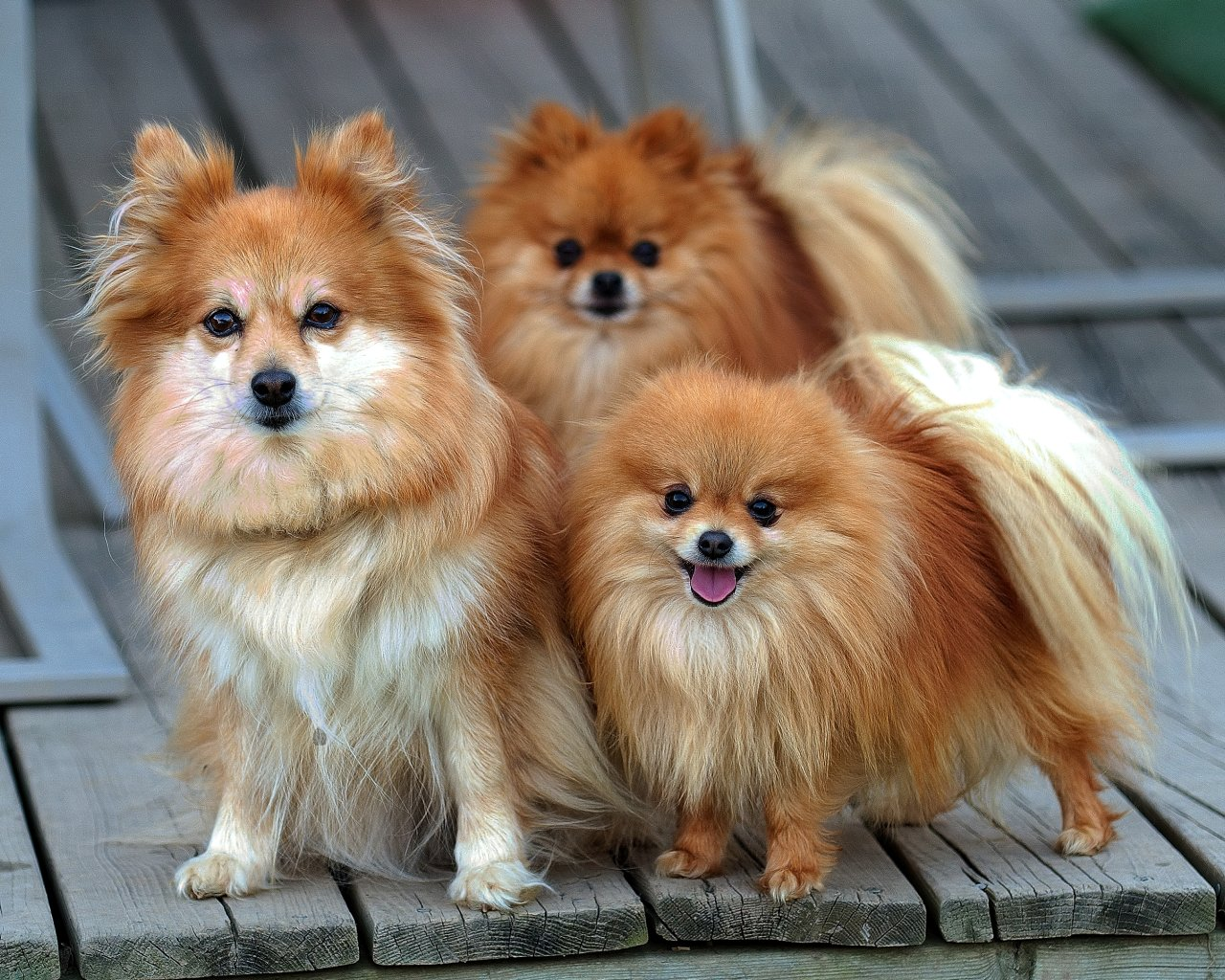 Dog Breed Directory Pomeranian Dog Breed