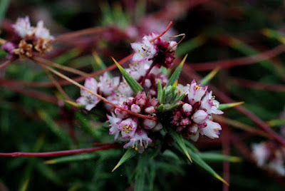 Dodder (Cuscuta Epithymum) Overview, Health Benefits, Side effects