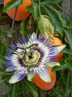 "Flower of Passion Fruits (果物時計草):  <br>Seeds contain ""PAK-blokers"""