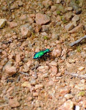 Six spotted Tiger Beetle, Cicindela sexguttata