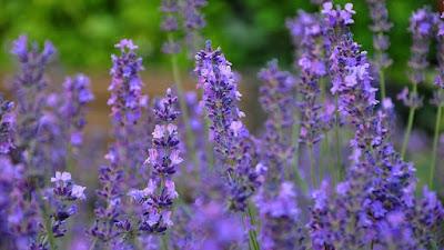 Bunga Lavender yang Mekar Berwarna Biru