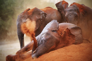 elephants are beating elephant in desert sand