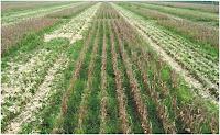 Pastagem saindo sob palhada do milho