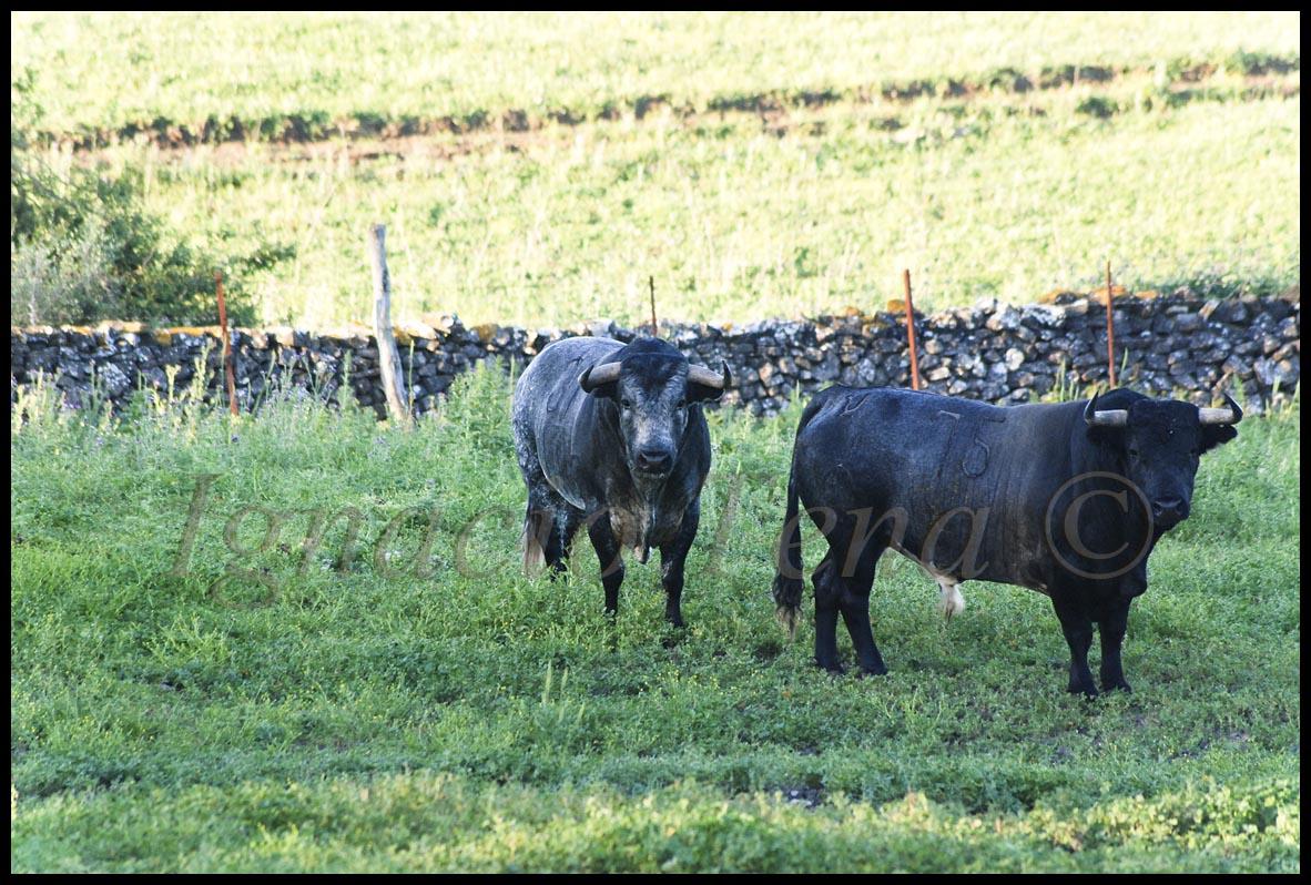 #9EA12A os dejo una serie de fotos del año 2009 de los Santa Colomas de  1182x798 px cabana feita de toros @ bernauer.info Móveis Antigos Novos E Usados Online