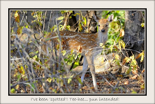 Spotted Deer fawn (Bambi), Ranthambore, Rajasthan, India