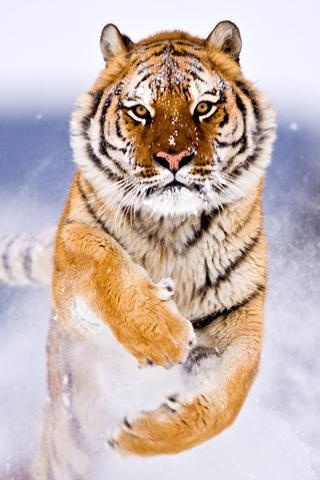 Bengal Tiger IPhone Wallpaper