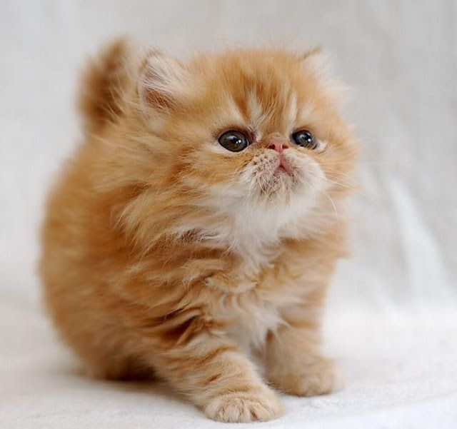5 Facts About Persian Cats You Didn't Know click picture to know