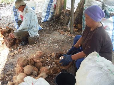 Ini lah caranya mematik kelapa secara manual ( yang kami upah di Perak)