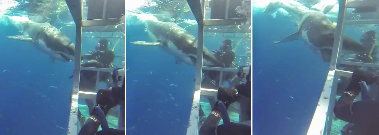 Great white shark penetrates cage and nearly bites diver at Guadalupe Island