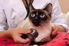 Feline Asthma  A Common Allergic Respiratory Disease In Cats