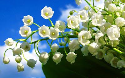 Bunga Tercantik di Dunia-Calla Lily Of the Valley