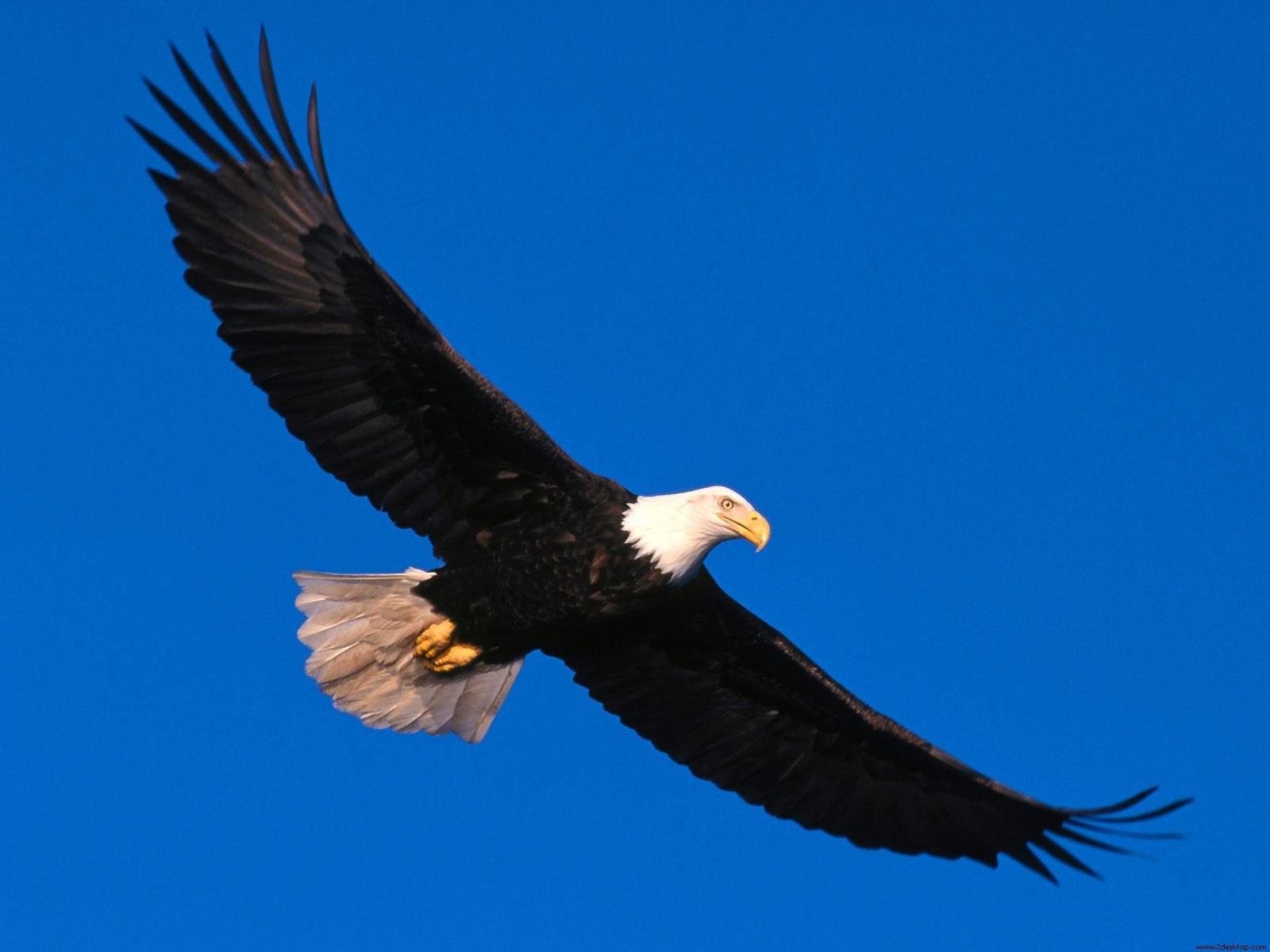 http://1.bp.blogspot.com/-FvxJiiRLtWM/UWdg4kg1KRI/AAAAAAAAfb8/h_iHPVS2LEI/s1600/Aguila-Volando-Alto-Wallpapers-HD.jpg