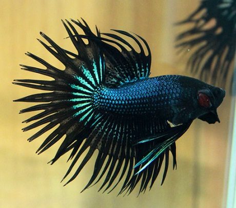 Finatics tropical fish november 2015 for Crowntail betta fish