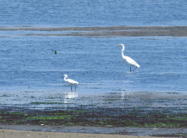 Snowy Egret and Great Egret - Jamaica Bay, New York