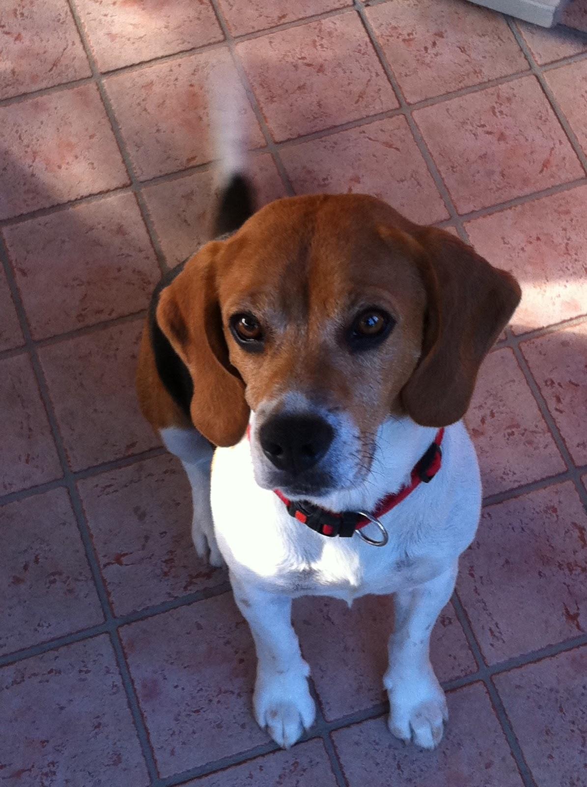 Gli amici di olmo pongo beagle di 6 anni cerca una nuova for In cerca di una nuova casa