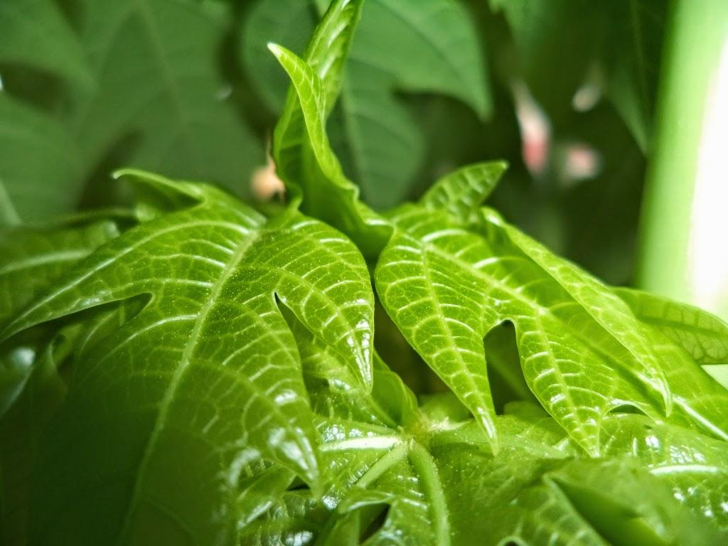 Papaya Bud, Papaya Flowers - closeup, papaya leaf