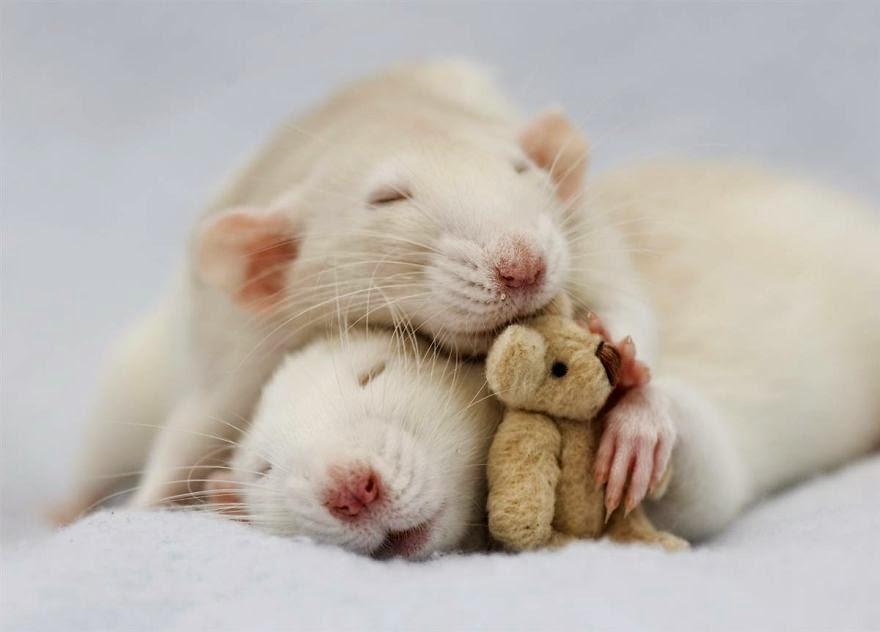 casal de ratos