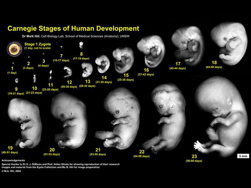 Fetus Development Week by Week Pregnancy