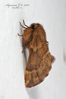 Tollas púposszövő (Ptilophora plumigera)