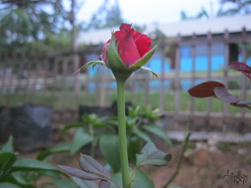 The Beauty Flower of Kunci Cahaya